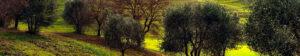 olivardedios olivares centenarios