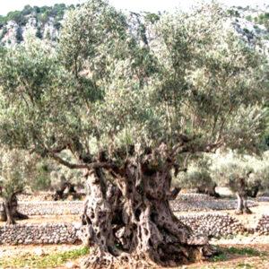 olivo del olivar de dios 1